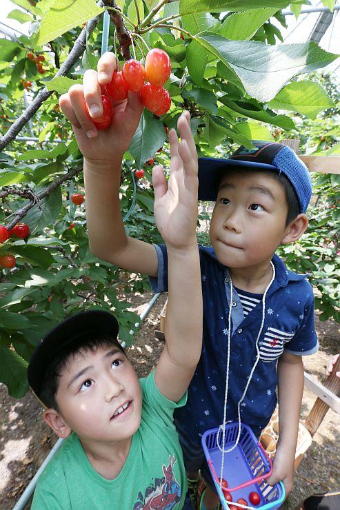 赤く実ったサクランボを収穫する和田小の子どもたち=上越市寺町