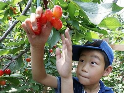 甘い実いっぱい 児童がサクランボ収穫 上越
