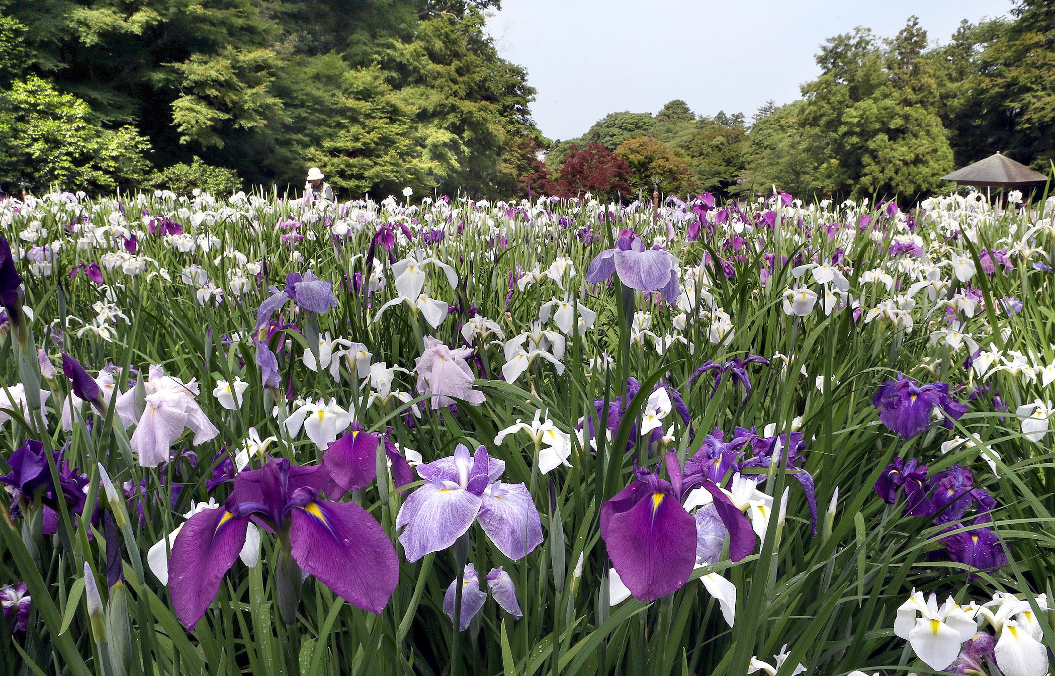 鮮やかに咲き誇るハナショウブ=11日午前9時20分、金沢市の卯辰山花菖蒲園