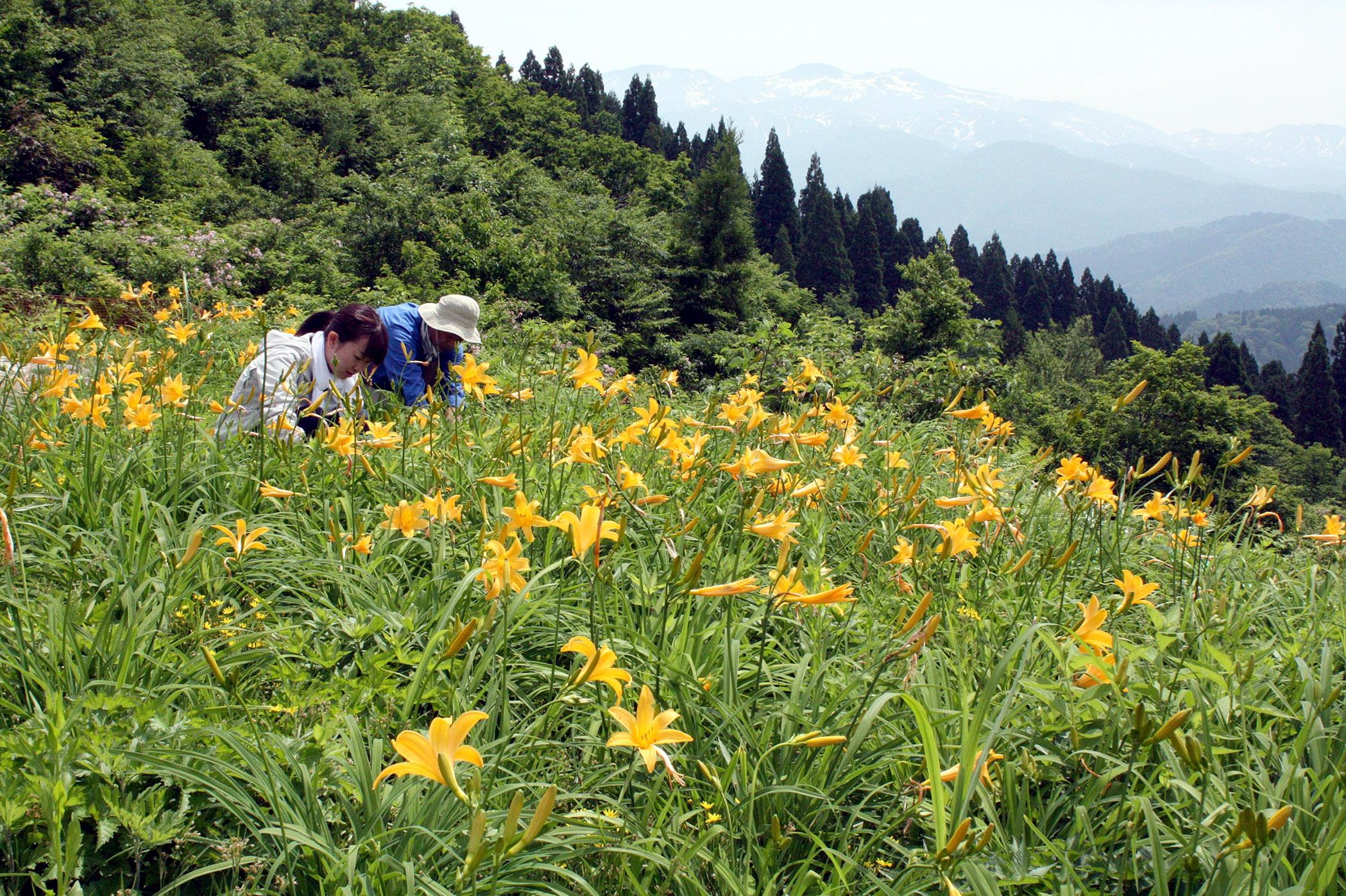 かれんに咲くニッコウキスゲ=白山市白峰の白山高山植物園