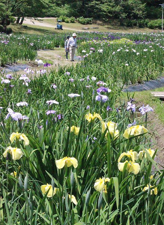 まつりを待ち切れない観光客らが訪れたあやめ園=11日、新発田市