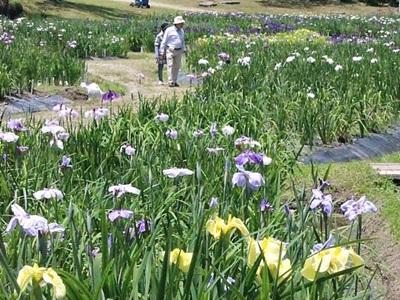 13日からあやめまつり 60万本来週見頃 新発田・五十公野公園