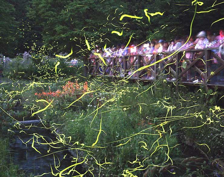 辰野町松尾峡の「ほたる童謡公園」で舞うゲンジボタルの光跡=12日午後8時から同9時4分までに撮影した15枚を重ねて1枚にした