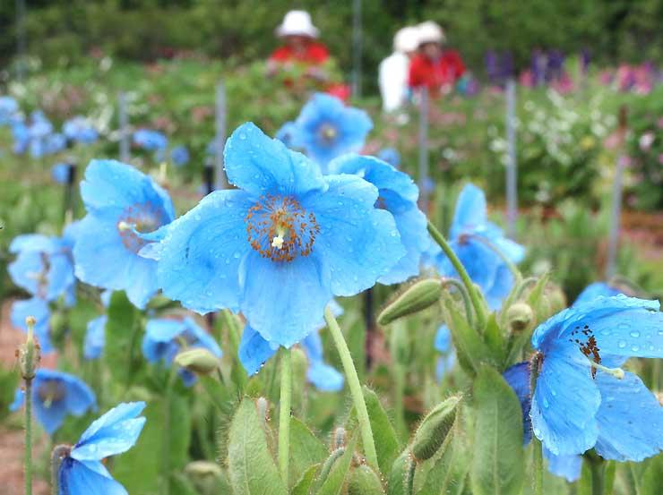 雨滴を浴びて彩りを増すメコノプシスの花=12日午後1時すぎ、大鹿村