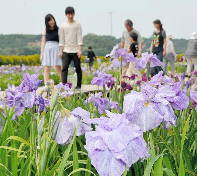 20万本のハナショウブが咲き誇る花菖蒲園=13日、あわら市北潟