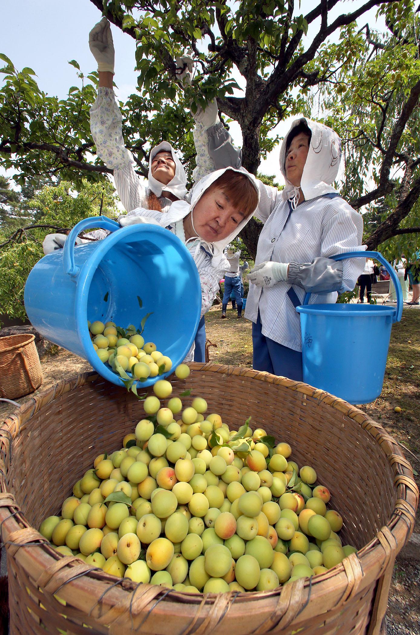 作業員や庭師に収穫された梅=17日午前10時、兼六園