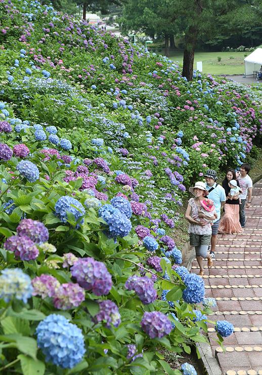 斜面を埋め尽くすように咲いたアジサイ=県民公園太閤山ランド