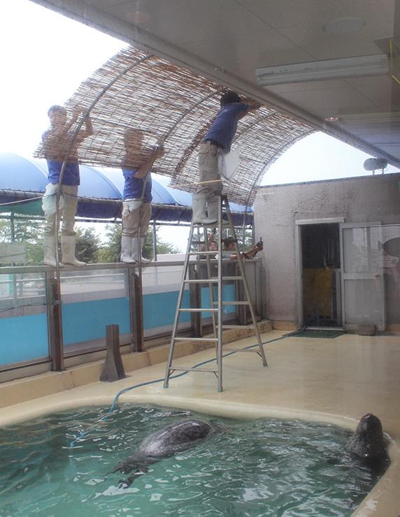 アザラシプールにすだれを取り付ける飼育員=魚津水族館