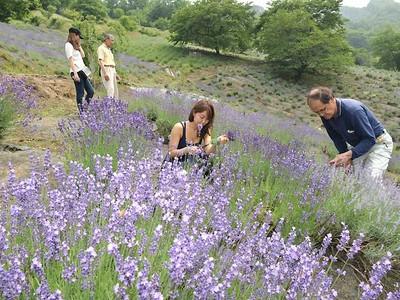 紫の畑、どこまでも 池田でラベンダー見頃