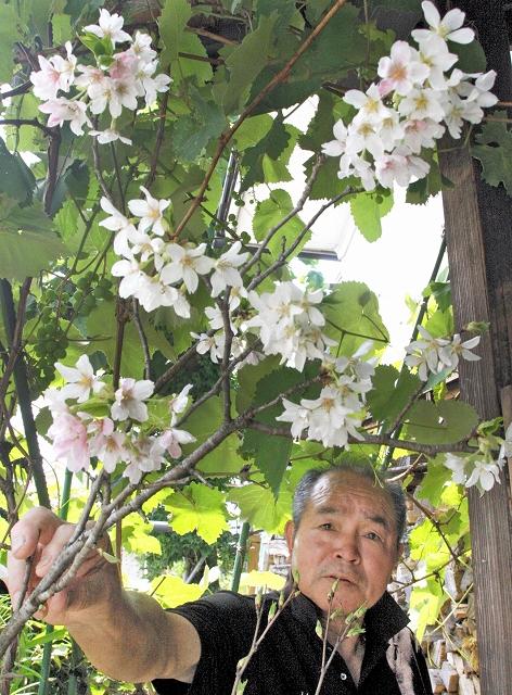 雪室から出され開花した桜=17日、福井県勝山市旭町2丁目