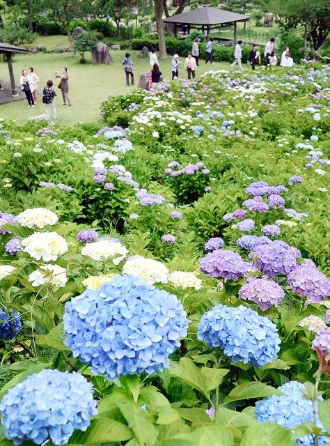 色とりどりのアジサイが咲く若狭瓜割名水公園=17日、福井県若狭町天徳寺