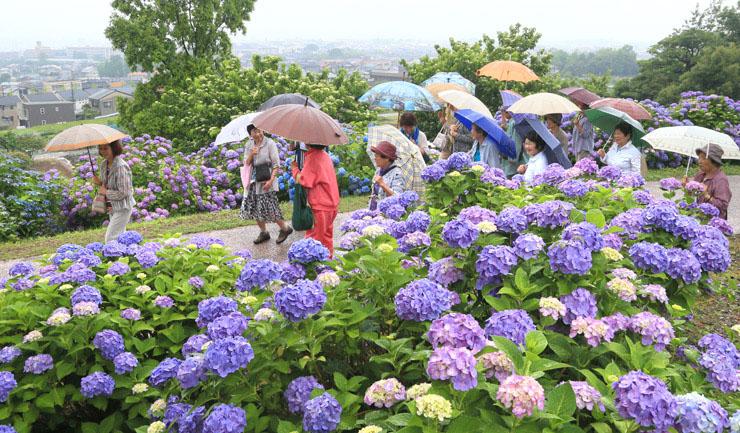 満開のアジサイを眺めながら園内を散策する人=金沢市の大乘寺丘陵公園