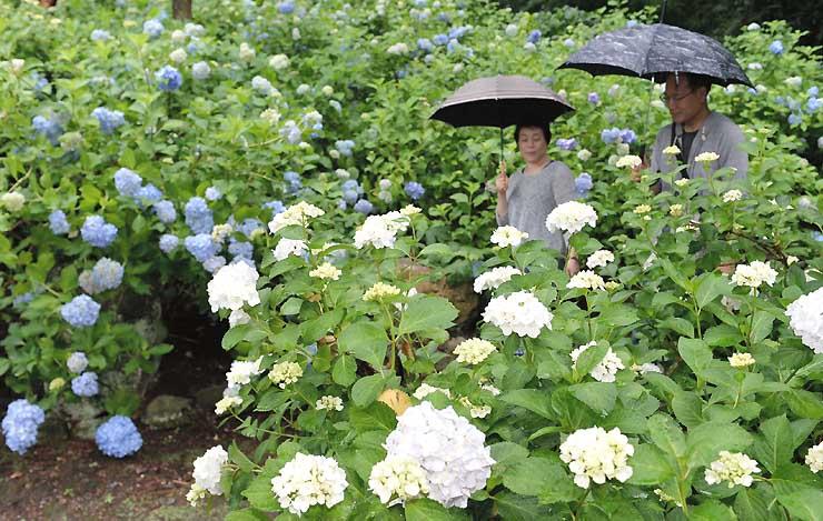 例年より早く咲き始めたアジサイ=19日午前、松本市寿小赤の弘長寺