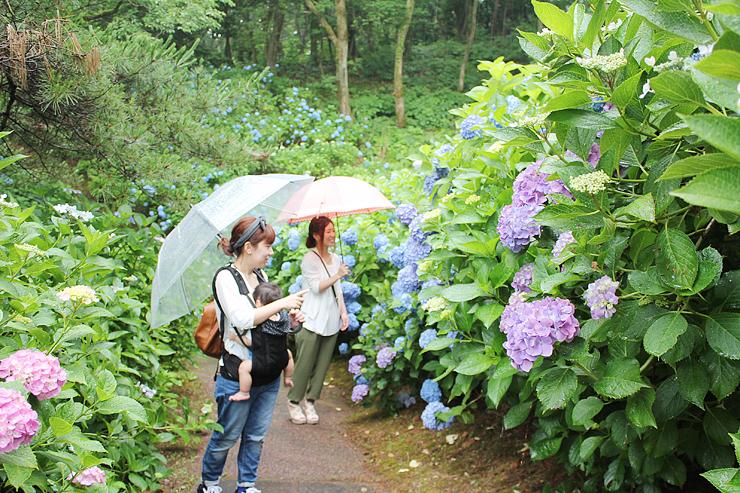 美しく咲いたアジサイに見入る来園者=県民公園太閤山ランド
