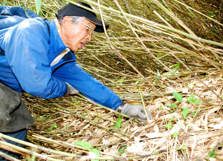 竹やぶの中でネマガリダケを収穫する男性=山ノ内町志賀高原
