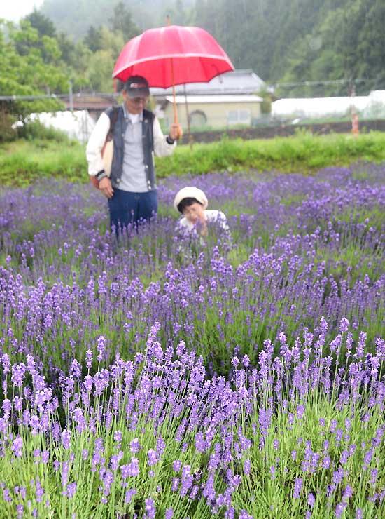 雨の中、ラベンダーの摘み取りを楽しむ人たち