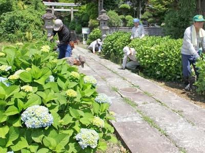 アジサイの花色 フルートの音色 手作り舞台で競演 三島・石井神社27日コンサート