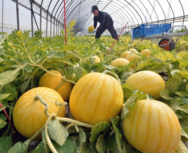 収穫期を迎え、黄色に輝く金福すいか=23日、福井市白方町