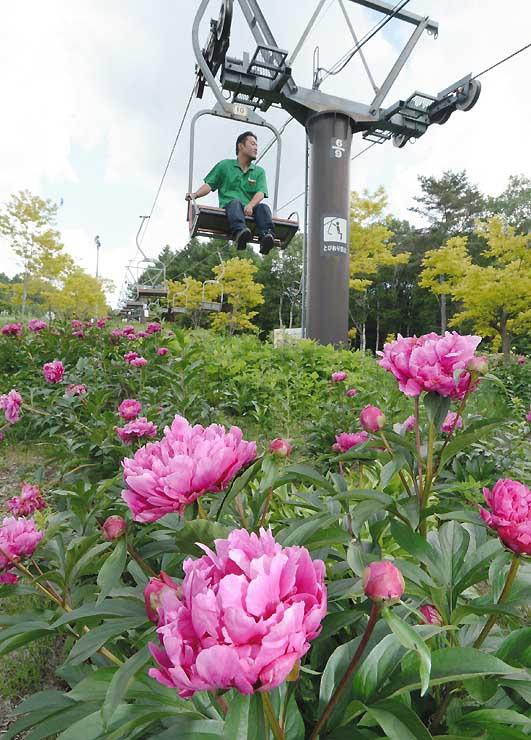 大輪の花を咲かせるシャクヤク=24日