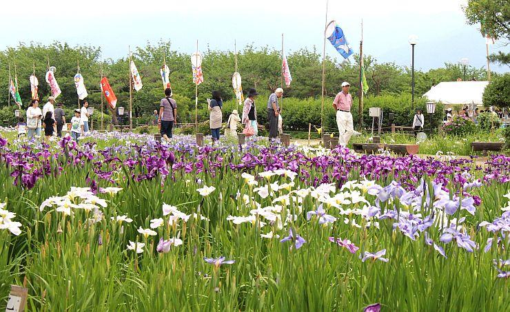 アヤメやハナショウブが人気を集める「瓢湖あやめまつり」(阿賀野市)
