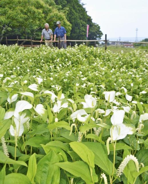 葉が白く色づき始めたハンゲショウ=25日、福井県高浜町中津海