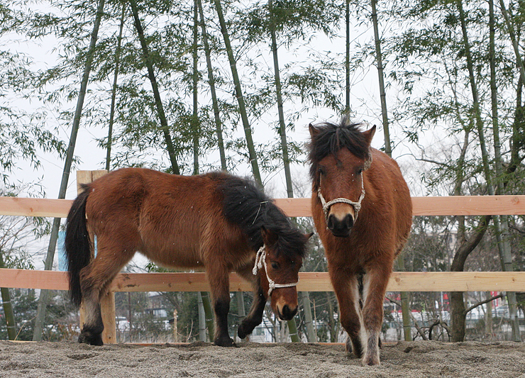 ホースセラピーを行う木曽馬の「春姫」(右)=富山市ファミリーパーク
