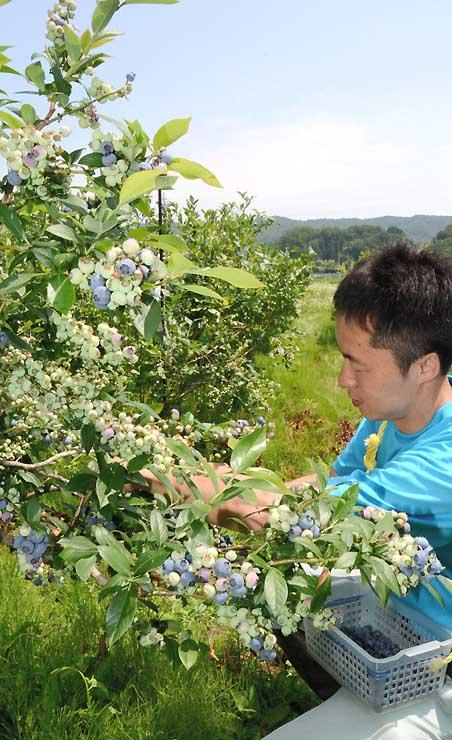 色づき始めたブルーベリーを収穫する由井さん