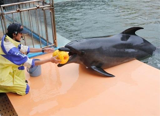児童から贈られた誕生日プレゼントのブイを飼育員から受け取るイルカの「ラボ」=26日、坂井市三国町の越前松島水族館