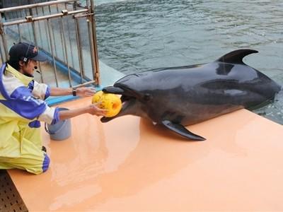 イルカ「ラボ」19歳に 坂井・松島水族館 児童お祝い