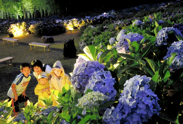 ライトアップされ、幻想的な雰囲気を出すアジサイ=26日夜、福井県若狭町天徳寺