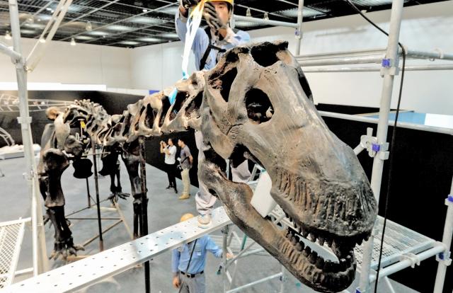 特別展「南アジアの恐竜時代」の目玉の一つ、プウィアンゴサウルス骨格標本の組み立て作業=1日、福井県勝山市の県立恐竜博物館