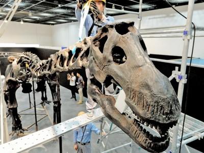 恐竜骨格を迫力間近に 福井県勝山 特別展向け設置 10日開幕