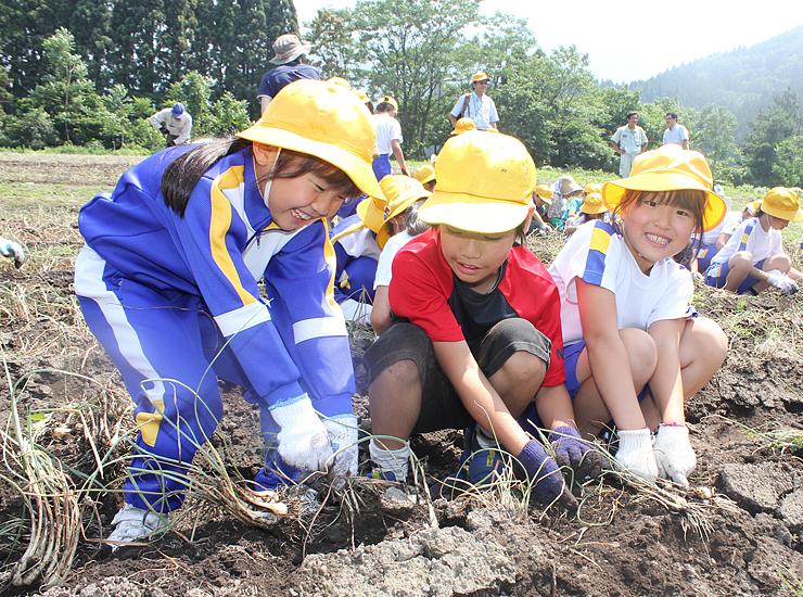ラッキョウを収穫する児童