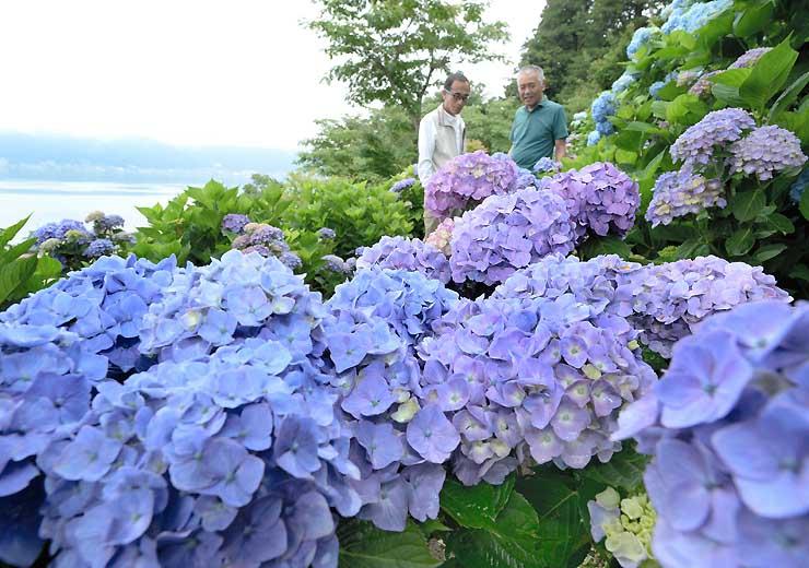 諏訪湖(左)を望む斜面で見頃を迎えたアジサイ。雨でしっとりとぬれ、色鮮やか