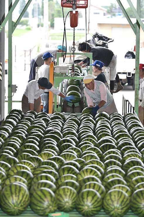 トラックから降ろされ、ベルトコンベヤーで運ばれる露地栽培のスイカ=6日午後、松本市波田