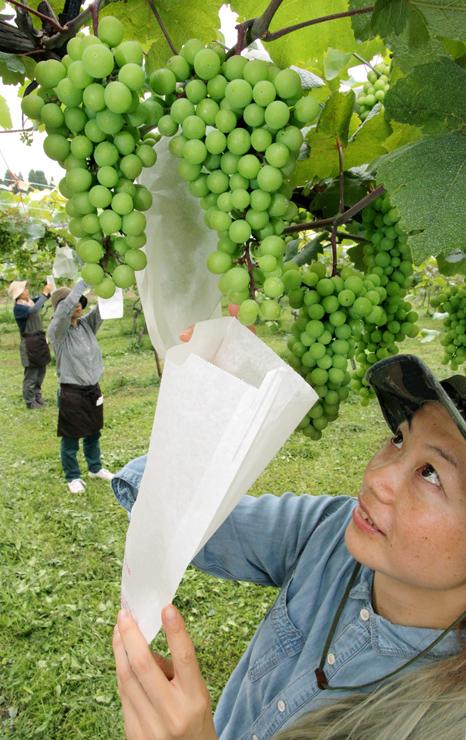 たわわに実ったブドウの房に袋を掛ける従業員ら=富山市婦中町吉谷の山藤ぶどう園