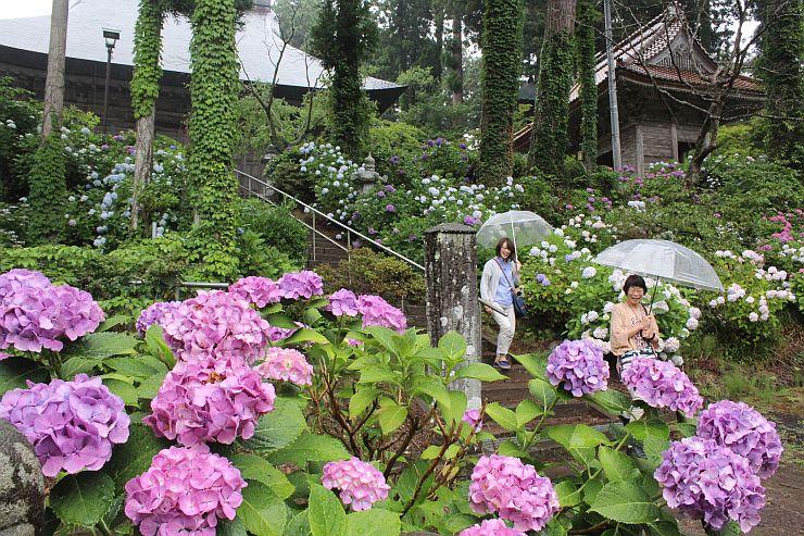 色とりどりのアジサイに囲まれた蓮華峰寺の境内=8日、佐渡市小比叡