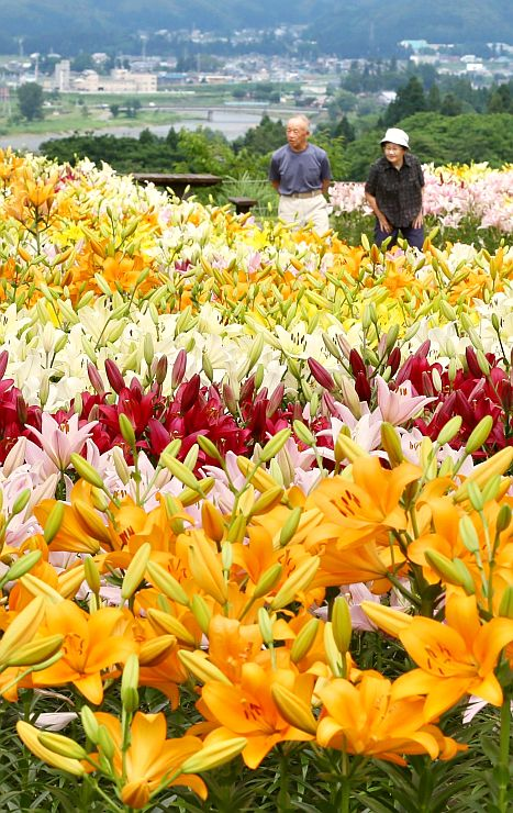 色鮮やかなユリが咲き誇る月岡公園の花広場=9日、魚沼市