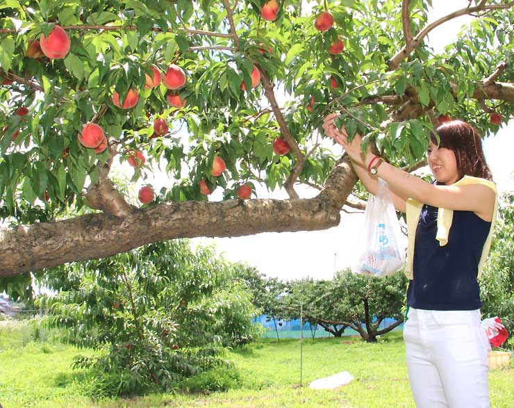 ピンクに熟した桃の実に手を伸ばす来園者