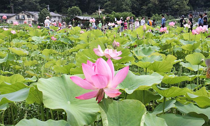 信濃国分寺に隣接する休耕田に咲くハスの花