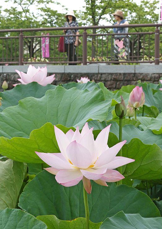 大きな葉の間からかれんな花を咲かせるハス=23日、上越市の高田公園