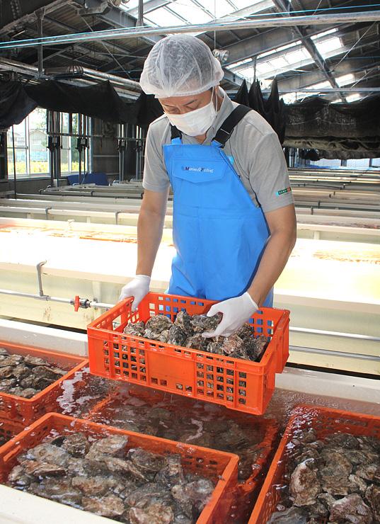 海洋深層水で浄化したカキの状態を確認する津久井社長