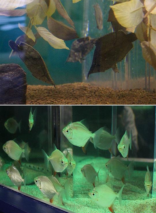 (上)枯れ葉のような姿のリーフフィッシュ(下)ライトの光を反射するメティニス