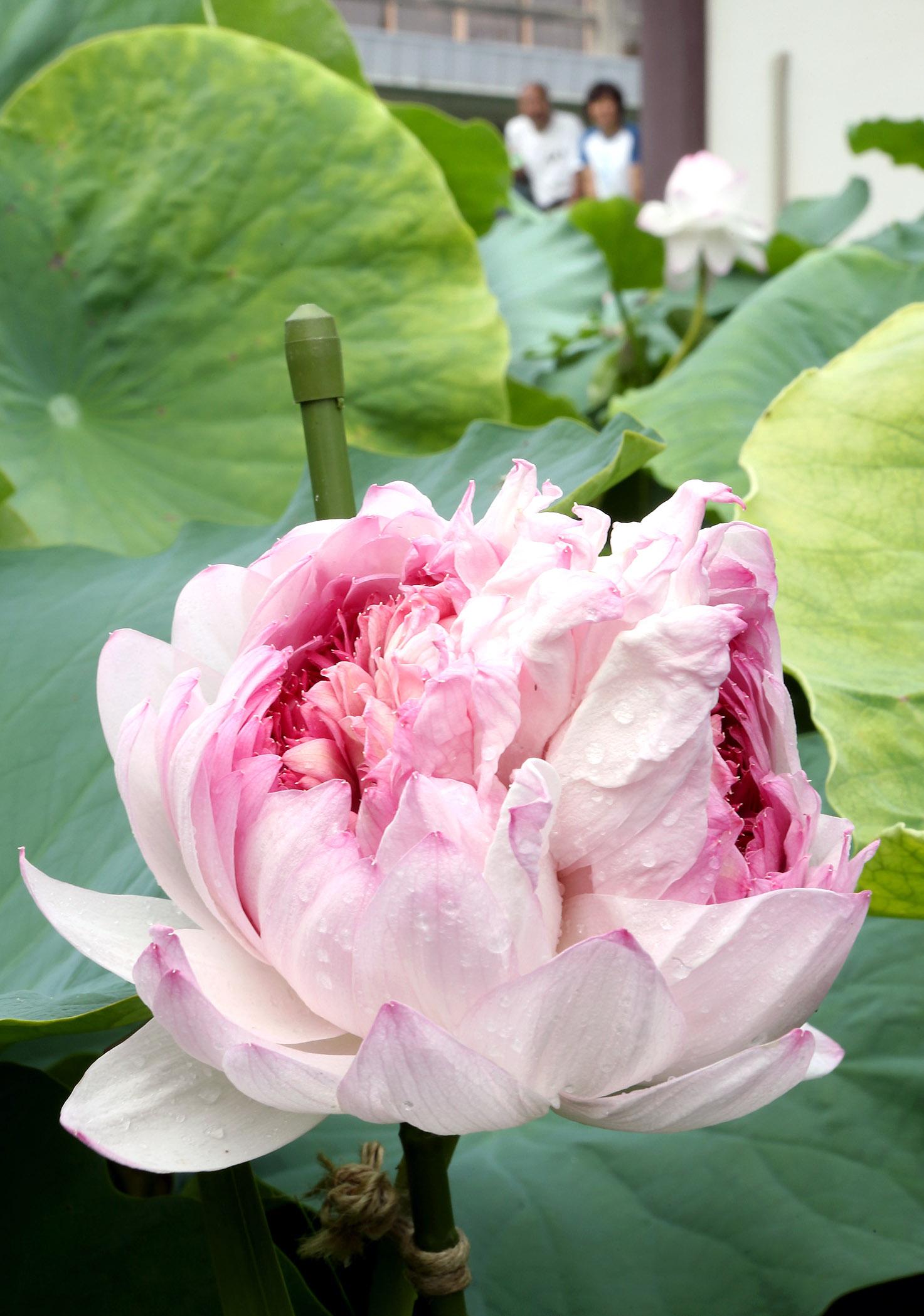 華やかに咲き誇る妙蓮=29日午前10時20分、金沢市神宮寺3丁目の持明院