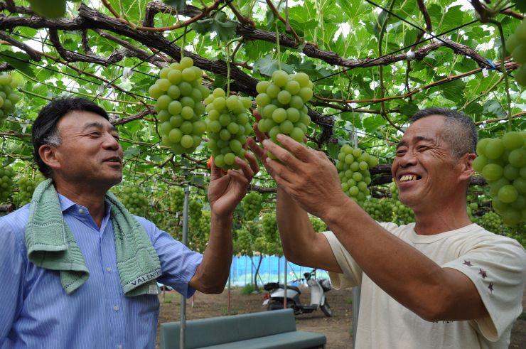 大粒の実がなったブドウを視察した農園主ら=30日、新潟市南区