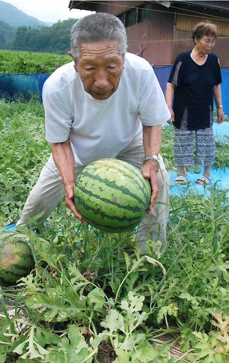 自宅近くで栽培しているスイカを収穫する村山さん