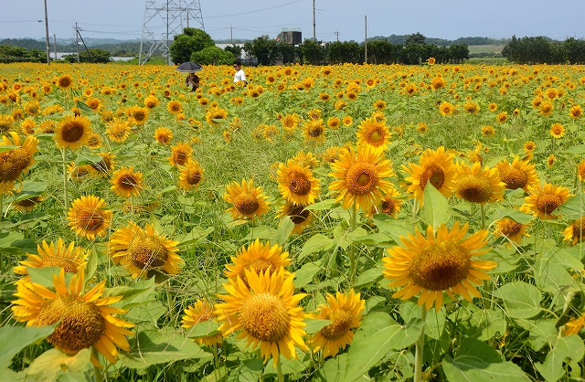 約30万本のヒマワリが咲き誇る「ひまわりパーク」=10日、福井県坂井市三国町池上