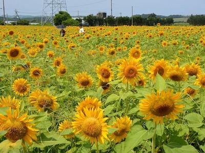 ひまわり80万本、迷路状のパークも 福井県坂井市、摘み取り自由