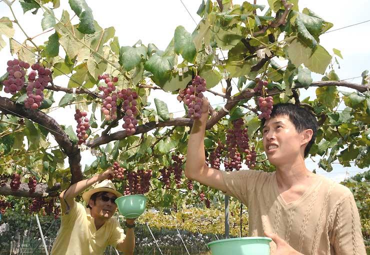 強い日差しの下、ブドウ狩りを楽しむ県外からの観光客=10日、飯田市龍江