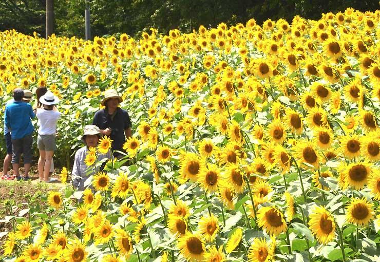 一面に黄色い花が咲くヒマワリ畑